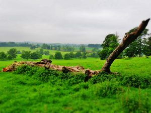 Fallen tree, Fawsley